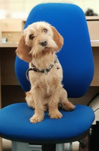 Claire - office dog